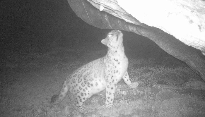 क्यामेराले भेट्टायो रोल्वालिङमा हिउँ चितुवा, ७ दुर्लभ पशुपन्छी पनि कैद